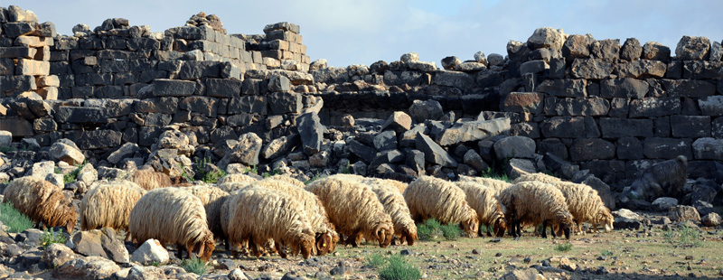 Main image: Sheep grazing.